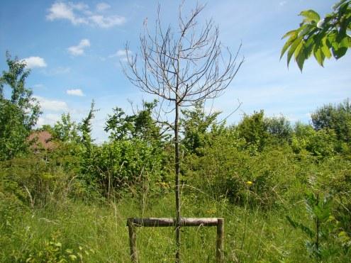 """""""Jubilee Oak"""", planted in 2012 to celebrate Her Majesty the Queen's golden jubilee."""