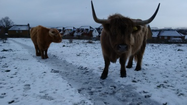 Highland cattle, winter 2016/17 Photo by Monica Hope