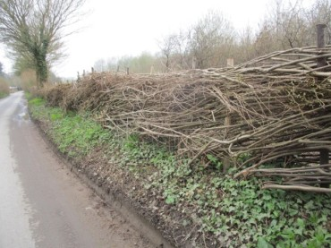 Hedge-laying along Singleton Hill. Photo by Julie Beale
